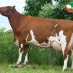 Excellent- krowa Gretje